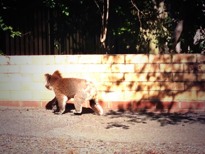 This 4 legged Mitcham resident makes a run for it Copyright Daniel Bennett
